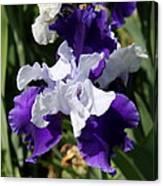 Blue And White Iris Canvas Print