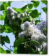 Blue And White Lilacs Canvas Print