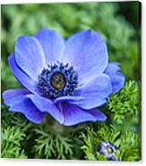 Blue Anemone. Flowers Of Holland Canvas Print