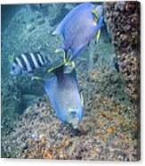 Blue Angelfish Feeding On Coral Canvas Print