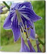 Blue Bell Flower Canvas Print
