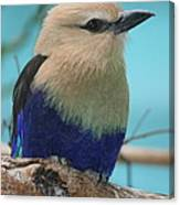 Blue-bellied Roller Canvas Print
