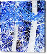 Blue Birch Trees Canvas Print