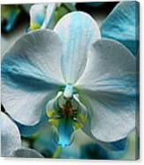 Blue Bow Orchid Canvas Print