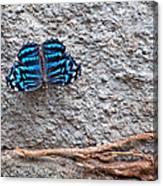 Blue Butterfly Myscelia Ethusa Art Prints Canvas Print
