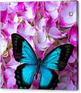 Blue Butterfly On Pink Hydrangea Canvas Print