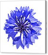 Blue Cornflower Flower Canvas Print
