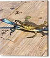 Blue Crab On Dock Assateague Island Md Canvas Print