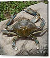 Blue Crab On The Rock Canvas Print