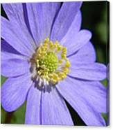 Blue Daisy Up Close Canvas Print