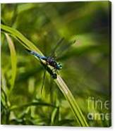 Blue Damsel Dragon Fly Canvas Print