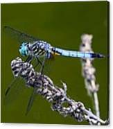 Blue Darter Canvas Print