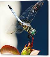Blue Dasher Dragonfly Canvas Print