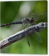 Blue Dragonfly 2 Canvas Print