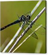 Blue Dragonfly 3 Canvas Print