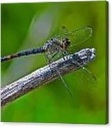 Blue Dragonfly 5 Canvas Print