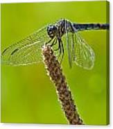Blue Dragonfly 6 Canvas Print
