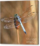 Blue Dragonfly Square Canvas Print