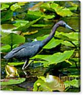 Reddish Egret Among The Lily Pads Canvas Print