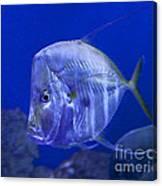 Blue Fish   #4990 Canvas Print