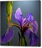 Blue Flag Iris Flower Canvas Print