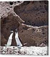 Blue Footed Boobies Displaying Canvas Print