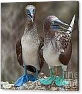 Blue-footed Boobies Canvas Print