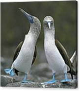 Blue Footed Booby Dancing Canvas Print