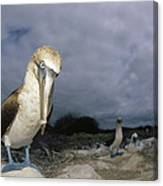 Blue-footed Booby Galapagos Islands Canvas Print