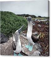 Blue-footed Booby Pair Courting Canvas Print