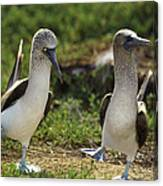 Blue-footed Booby Pair In Courtship Canvas Print