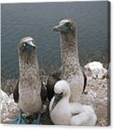Blue-footed Booby Parents With Chick Canvas Print