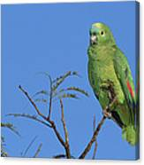 Blue-fronted Parrot Emas National Park Canvas Print