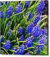 Blue Grape Hyacinth Canvas Print