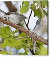 Blue-gray Gnatcatcher Canvas Print