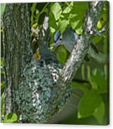 Blue-gray Gnatcatcher Nest Dsb261 Canvas Print