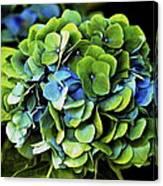 Blue Green Hydrangea Canvas Print