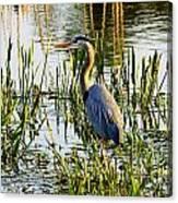 Blue Heron Backside Canvas Print