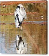 Blue Heron Grooming Canvas Print