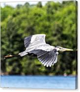 Blue Heron In Flight II Canvas Print