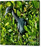 Blue Heron In Mangroves Canvas Print