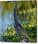 Blue Heron In The White Light Canvas Print
