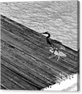 Blue Heron On Dock - Grayscale Canvas Print