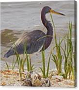 Blue Heron On Oyster Shell Beach Canvas Print