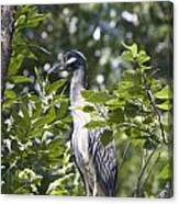 Blue Heron Profile Canvas Print