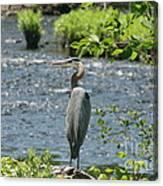 Blue Heron River Fishing  Canvas Print
