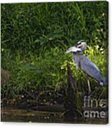 Blue Heron With A Fish-signed Canvas Print