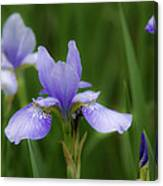 Blue Iris Canvas Print