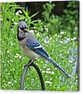 Blue Jay 105 Canvas Print