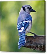 Blue Jay At Feeder Canvas Print